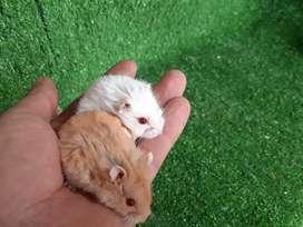Hamster rusos y mas