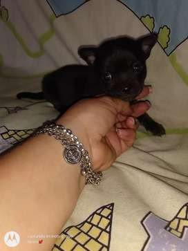 Chihuahua macho cabeza de manzana pelo corto