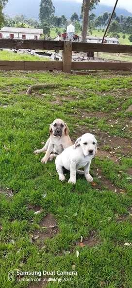 Cachorros Fila Brasileros Puros.