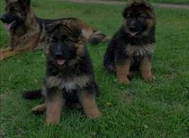 Vendo mi cachorro pastor aleman