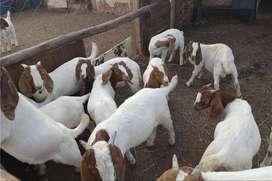 Cabras Boer de raza pura / Cabras Saanen blancas