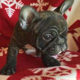 bulldog frances de 57 dias entrega inmediata, certificado veterinario