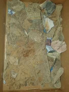 Impresiones y mineralizaciones fosiles del triasico. Especie Dicroidium.