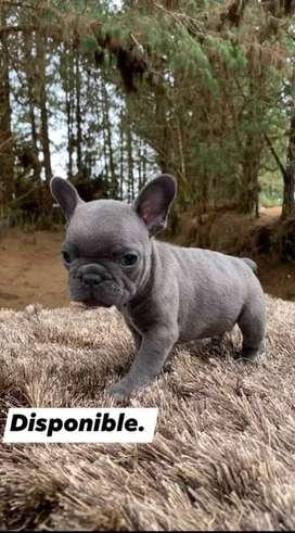Bulldog francés blue exoticos