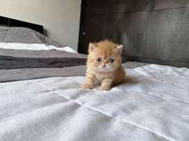 Gatos persas y exóticos para cría y mascota