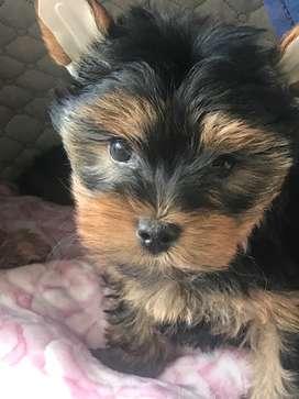 Preciosa York Shire Terrier Mini