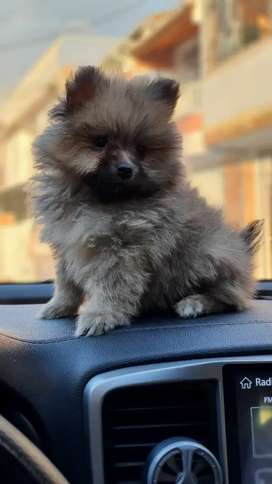 Perfectos Pomeranias Lulu Pequeñito