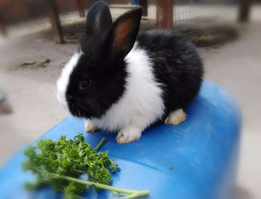 Conejos Bogotá norte desparacitados