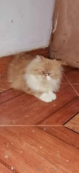 persa es un gatico hermoso y muy cariñoso