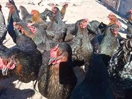 Gallinas ponedoras y gallos