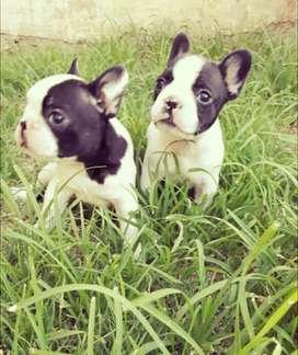 Bull dog frances. 45 dias, desparacitados, con una vacuna y listos para su nuevo hogar!!