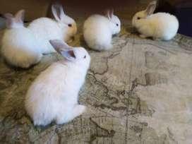 Vendo Conejos Neozelandeses/Californianos