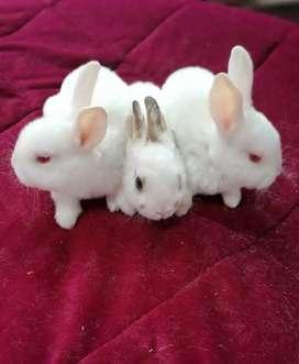 Conejos Rex raza