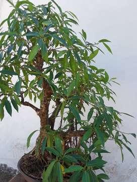 Venta de  bonsai