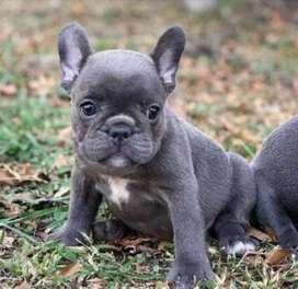 Bulldog Frances Cachorritos para entrega inmediata, 8 semanas y media