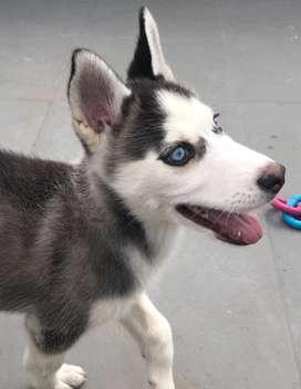Husky siberiano, hembra, 4 meses