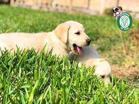 Labrador Retriever en Pet Vital