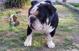 Bulldog ingles black tri en servicio stud