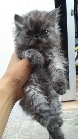 Gatos persa  hermosos