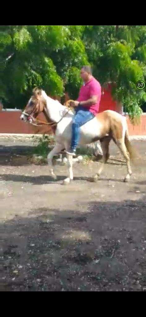 Vendo Caballo Pinto 0