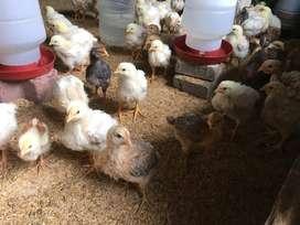 Pollitos de carne de 2, 3 semanas y gallinas ponedoras
