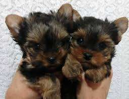 bellos cachorros yorkshire mini