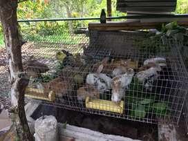 Conejos carne y pie de cria