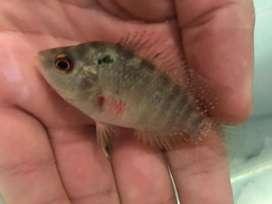 Venta de peces flower horn