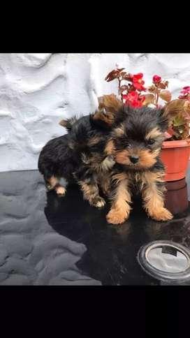 Excelentes cachorritos raza yorkshire mini