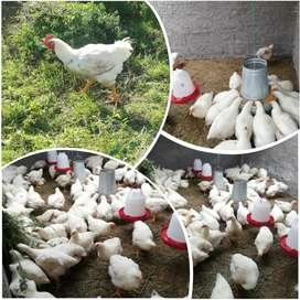 Pollos de morocho