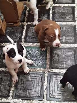 Se venden perros pit bull