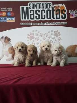 Mascotas de raza french poodle