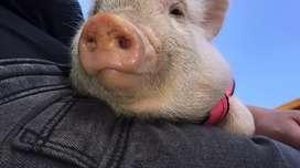 Mini pig linda y adorable