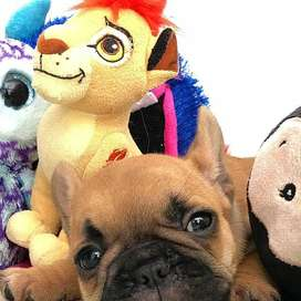 espectaculares cachorros arrugados, bulldog frances de 59 dias