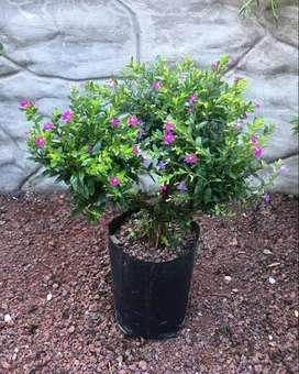 Cuphea planta.