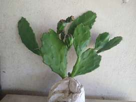 cactus crece 4metros cactus nogal  desde 150$