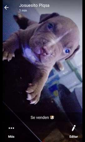 Venta de perroz pitbull red nose