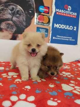 De buena calidad cachorros Pomeranias mini