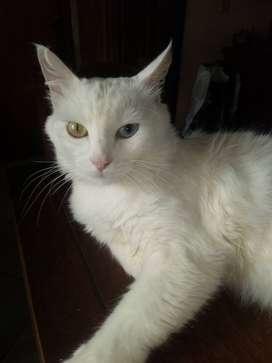 Gato Angora Turco de 8 meses