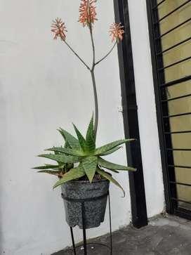 Planta Aloe Vera con Flor Grande