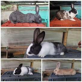 Venta de conejos para pie de cría