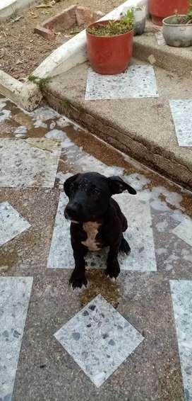 Se venden perritos pitbul (machos)