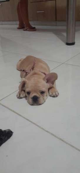 bulldog frances hembra color fawn dos meses de nacida ,cacerita