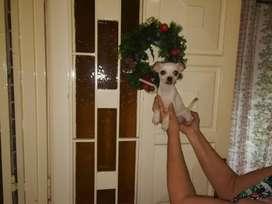 Chihuahua cachorros mini