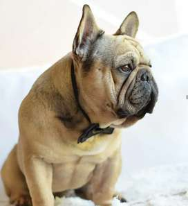 Vendo Hermoso Macho bulldog frances fawn!