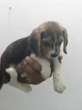 Beagle hembra tricolor d
