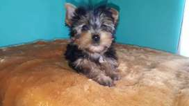 Divinos perritos raza Yorkshire  terrier  disponibles