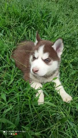 Educado husky siberiano rojo admirables