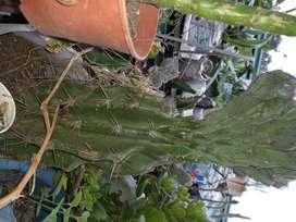 gp1160 Cactus Cereus