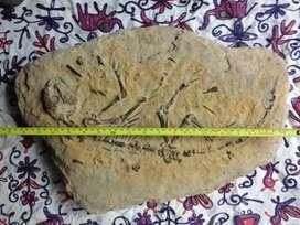 "Fosil ""Micropachycepalosaurius"""